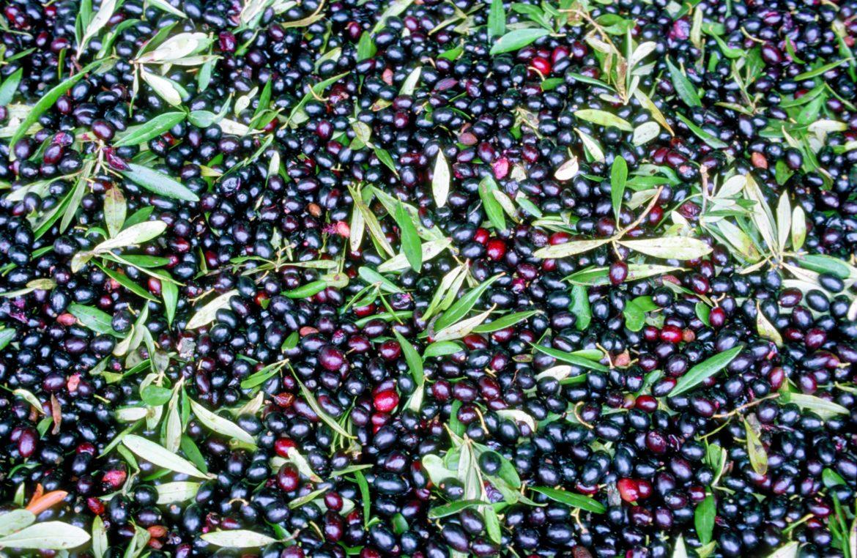 Im November können Sie bei der Olivenernte dabei sein.